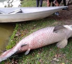 2.4m·108㎏…말레이 호수 위로 떠오른 '<!HS>아마존<!HE> 괴물' 정체는