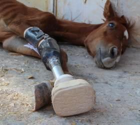 [<!HS>서소문사진관<!HE>]시리아 내전으로 다리 잃은 망아지<!HS>,<!HE> 의족으로 새 삶 시작