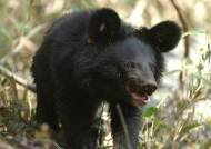 전북 장수군에서 반달가슴곰 목격…지리산 곰인지 조사 중