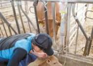 [함께하는 금융] 소 설사·장염·난산 등 진료비 보상 '가축질병치료보험' 시범운영 큰 호응