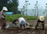 손 다치고 살 찌고…농사 짓는 여성, 남성보다 더 많이 아프다