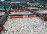 태풍 링링 지나자 적조…남해 양식장 물고기 떼죽음
