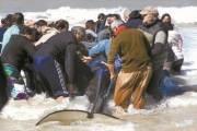 [한 컷] 범고래 구출 작전