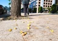 은행 미리 털고 암나무 퇴출…악취 주범 '가을 지뢰' 방어전