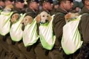 [서소문사진관] 강아지 경찰견도 참가한 칠레 독립 기념 퍼레이드