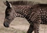 [서소문사진관] 물방울 무늬 얼룩말 '티라', 케냐 초원에서 발견