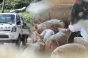 아프리카돼지열병 김포 확진 이어 파주서 또 의심 신고