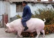 현실판 '옥자'…中 돼지열병 해법은 500kg '자이언트 돼지'