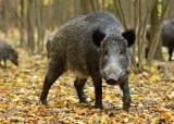 """<!HS>환경부<!HE> """"DMZ 남쪽 멧돼지에서는 돼지열병 바이러스 불검출"""""""