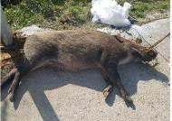 민통선 남쪽 멧돼지 폐사체에서 돼지열병 바이러스 첫 검출