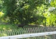 파주 민통선에서 야생 멧돼지 6마리 사살…연천 의심신고 '음성'
