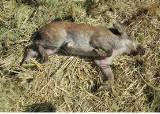 연천군 민통선 멧돼지서 11번째 돼지열병 바이러스 검출