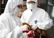 가축 전염병 '엎친데 덮친 격'…돼지열병에 고병원성 의심 AI까지
