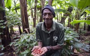 영국 왕실이 애용하는 킬리만자로 커피, 뜻밖의 비결은 바나나나무