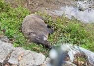해충 들끓는 멧돼지 사체···치사율 40% 'SFTS' 사람 감염 위험