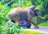 태국 국립공원 코끼리의 공격…도로 위 차량 깔고 엎드려