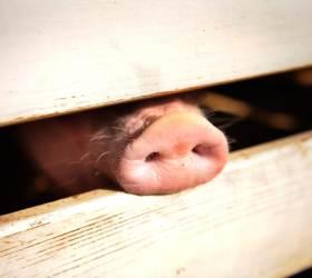 """""""아프리카<!HS>돼지열병<!HE>으로 전 세계 <!HS>돼지<!HE> 4분의 1 없어질 수도"""""""