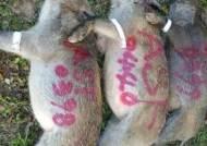 아프리카 돼지열병에 '멧돼지 현상금' 급등, 돼지고기 값은 폭락