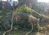 드론도 띄워···5명 해친 印 살인코끼리 '오사마 빈 라덴' 포획