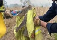 호주 산불로 서식지 80% 초토화···코알라 '기능적 멸종' 위기