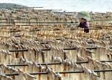 울릉도 오징어가 실종됐다, 한마리에 8000원 된 '금징어'사연
