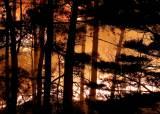 속초·고성이 산불서 살아남은 푸른 소나무 싹 베는 이유