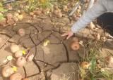 태풍 피해로 '뻘밭'된 사과밭, 두 달째 복구 제자리 왜