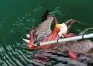 [서소문사진관] 문어 사냥하다 먹이가 될 뻔한 독수리