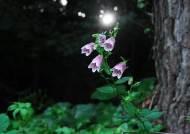 '섬초롱꽃' '섬기린초' '섬괴불나무'- 독도에 활짝 핀 들꽃들