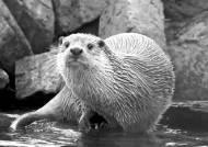 멸종위기종 수달, 영주댐 밑 대성천에 살고 있었네