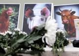 [서소문사진관] 비극의 돼지해를 보내며 '돼지 추모식', 올해만 40만 마리 살처분