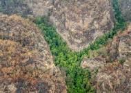 지옥의 호주산불서 지켜냈다···2억년 전 '공룡나무' 200그루