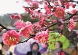 [한 컷] 봄 재촉하는 홍매화 활짝