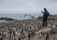 [서소문사진관]남극 기온 18.3도, 턱끈펭귄 7만쌍 줄었다