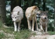 """""""늙고 병든 자 맨앞으로""""…늑대에게 배우는 공동체의 삶"""