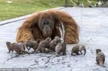 """[서소문사진관] """"어서와 우리집은 처음이지?"""" 수달 가족 맞는 오랑우탄 가족"""