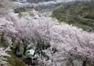 아쉬운 벚꽃, 너무 빨리 흐른다···봄꽃 축제도 '드라이브 스루'