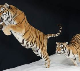 [<!HS>한컷플러스<!HE>+] 눈밭을 달린다. 정교한 박제로 부활한 시베리아 호랑이