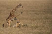 [서소문사진관] 야생의 삶과 죽음, 사자와 기린의 엇갈린 모정
