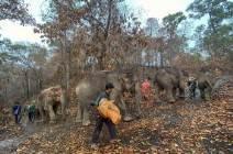 [서소문사진관]코로나로 실직(?)한 태국 코끼리들 고향으로 돌아갔다