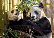 """""""코로나로 먹이 못 구해""""···캐나다 동물원 판다, 중국 돌아간다"""