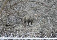 피흘리며 쓰러진 멧돼지 500마리···휴전선 아래 '바이러스 전쟁'