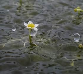 [권혁재 핸드폰사진관] '가장 슬픈 운명의 꽃' 논에서 피는 매화마름