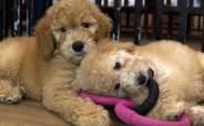 """코로나 이후 뜻밖에 귀해진 강아지들…""""몸값 2~3배 올랐다"""""""
