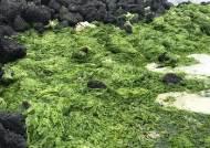 가까이 가보니 썩은내 진동···제주 뒤덮은 초록 물체의 정체