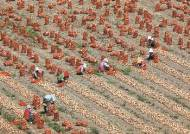 [한 컷] 무더위 속 양파 수확 한창