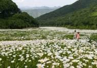 국내 최대 데이지 군락…해발 1300m 스키장은 꽃소금을 뿌린듯했다