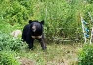 전남~경북~충북 돌아다닌다, 꿀 훔쳐먹고 달아난 반달가슴곰