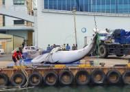 속초 해상서 7.8m 밍크고래 혼획…오징어잡이 어선이 인양