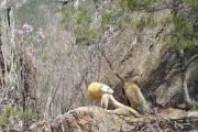 [영상] 털 새하얀 '알비노' 담비, 설악산 한계령에 나타났다
